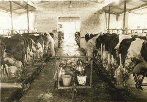 חליבה בקיבוץ הזורע 1953 1947