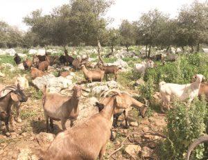 עדר עיזים בהיריון שיוצאות למרעה קרוב