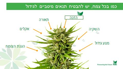 כמו בכל צמח, יש להבטיח תנאים מיטביים לגידול