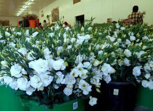 פרחי ליזיאנטוס נארזים בפארן ערבה תיכונה למשלוחי חג המולד