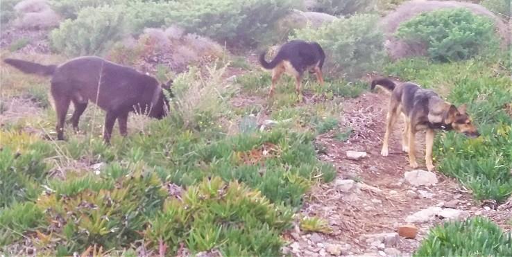 כלבים משוטטים במושב