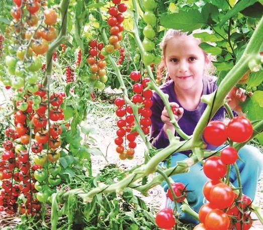 קטיף עגבניות שרי בערבה תיכונה