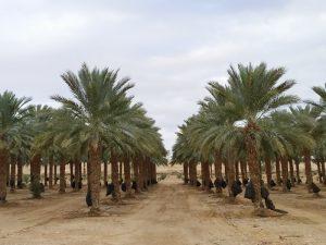 חקלאות מופ ערבה תיכונה