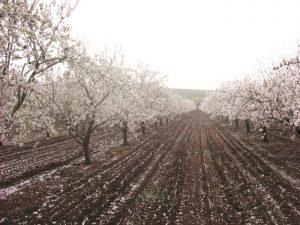 כרם שקדים בכפר תבור בפריחה