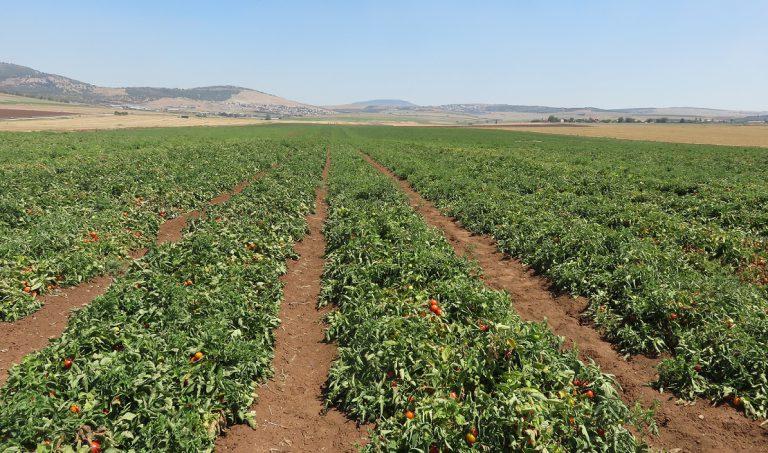 חלקת עגבניות