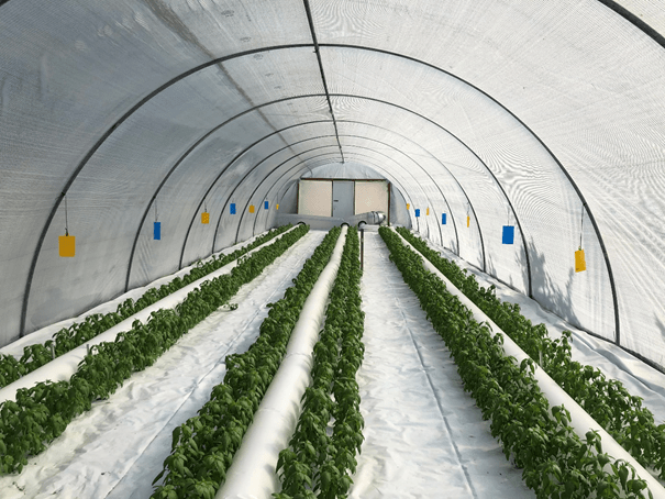 גידול תבלינים ללא הדברה כימית חלל הגידול של המנהרה