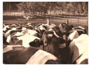 תלמיד עם עדר פרות במקווה