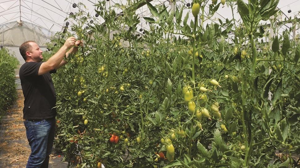 בחממת העגבניות והפלפלים