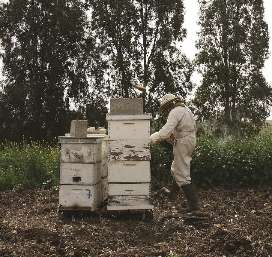 דרומי ליד כוורות דבש