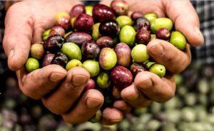 הנחיות לעונה למגדלי הזית
