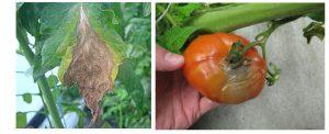 מחלת עובש אפור בעגבניה