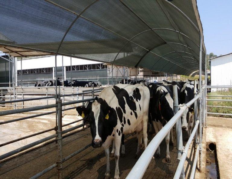 צינון פרות בקיץ