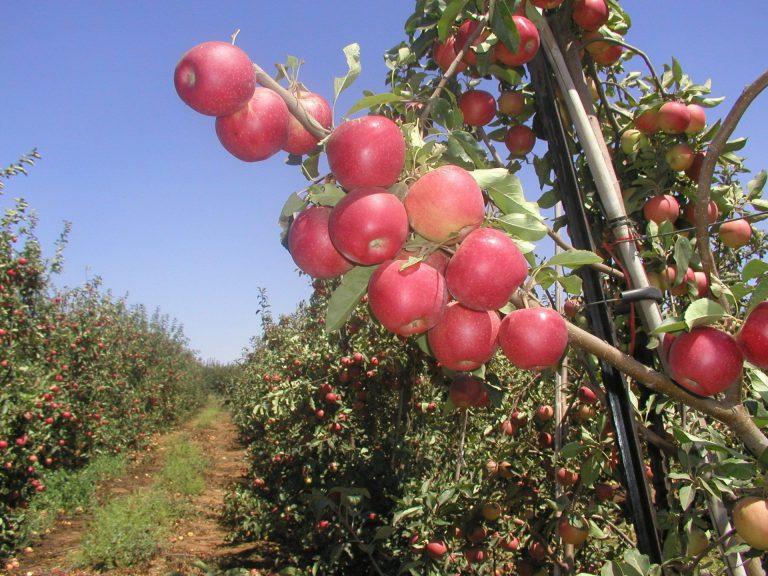 תפוח רם שדמון