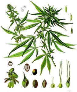 Cannabis sativa Kohler–s Medizinal Pflanzen 026