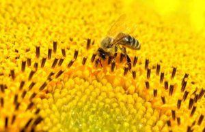 דבורה דבש