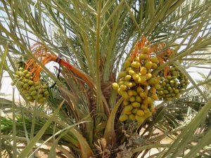 עץ תמר המרכז לחקלקלאות מדבר רמת נגב