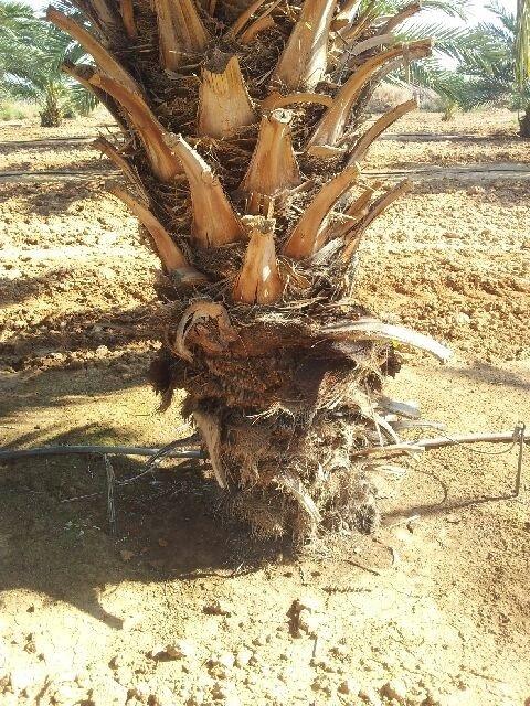 תמונה 2 השקיה ב 2 שלוחות של טפטוף רציף
