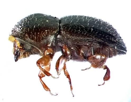 חיפושית האמברוזה