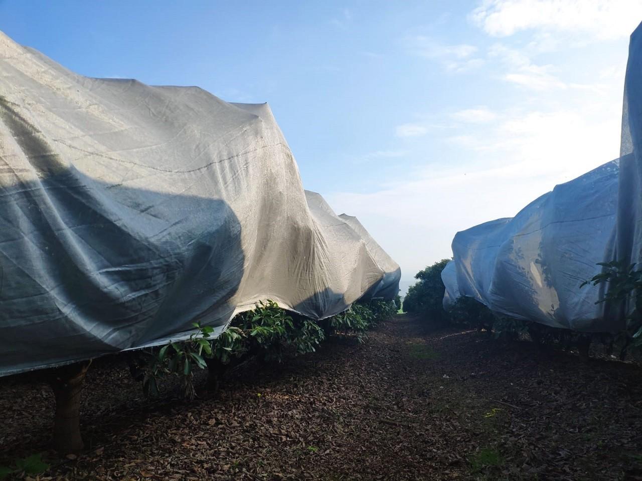 כיסוי עצי אבוקדו ברשתות קיבוץ כפר הנשיא הגנה על עצי אבוקדו