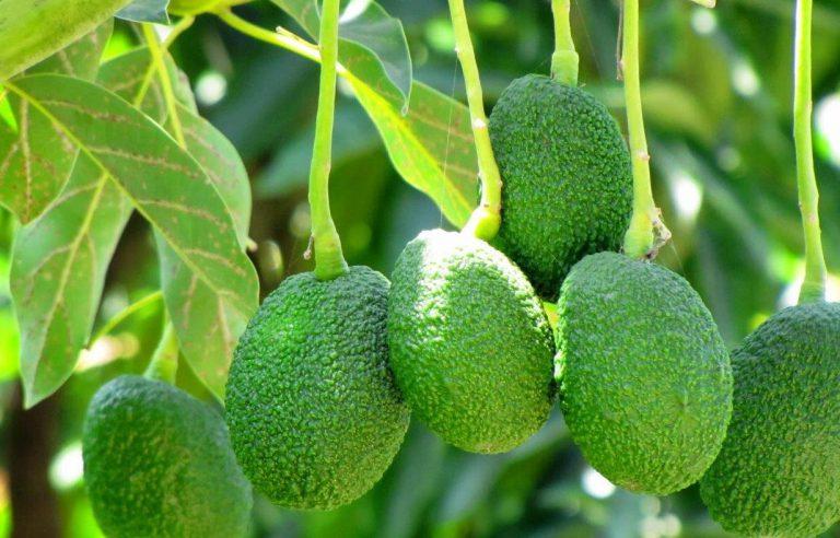 עץ אבוקדו חקלאי גרנות צילום רוני יזרעאלי