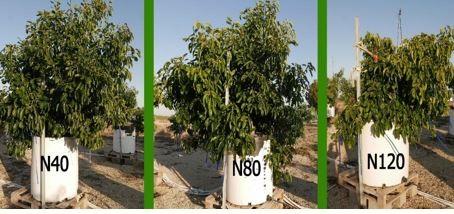 עצי אבוקדו אס
