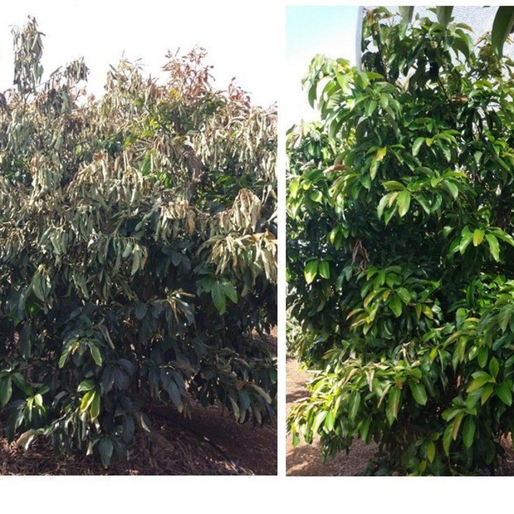 תמונות של עצי אבוקדו לאחר אירוע קרה משמעותי. משמאל ביקורת לא מכוסה מימין עץ שכוסה ברשת