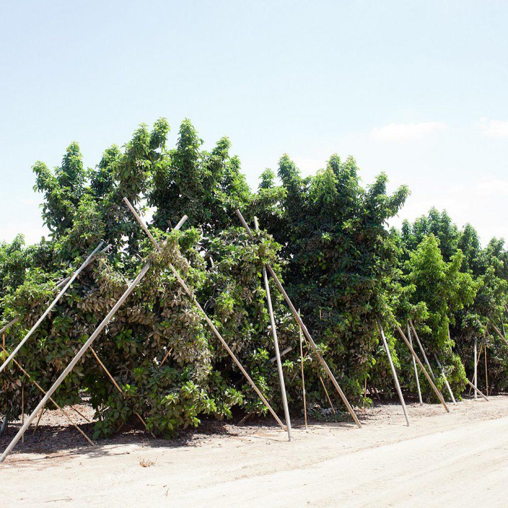 תמיכה בעצים שופעי פרי. מטע ותיק בחוות יזרעם