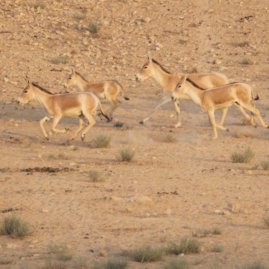 פראים רצים בשטח צילום עמוס בוסקילה
