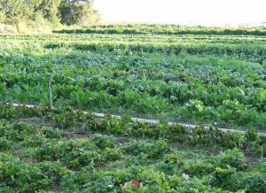 קומפוסט בחקלאות האורגנית