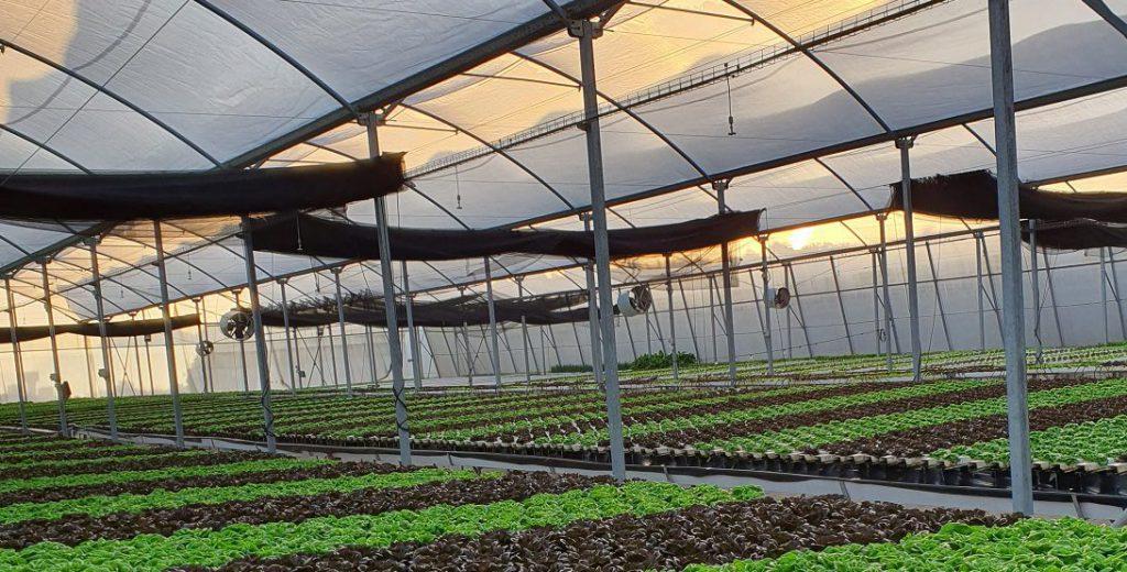 חסה צבעונית גידול הידרופוני