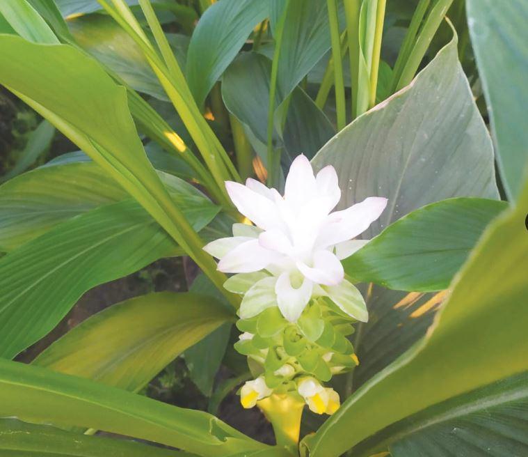 פרח הכורכום