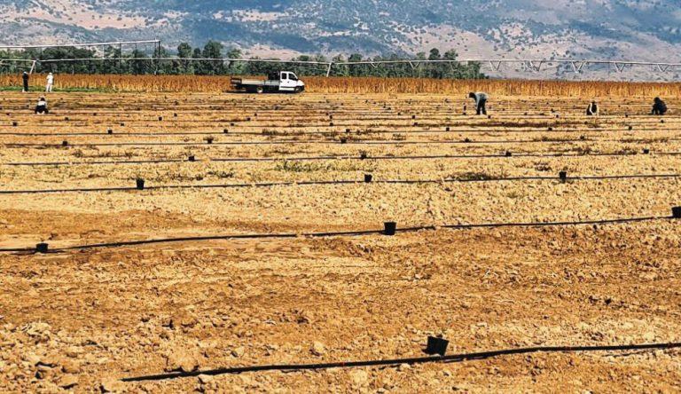 גידול חרוב קיבוצי הגליל