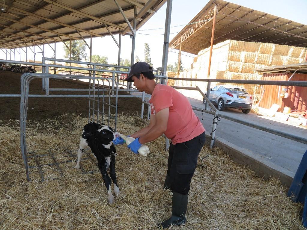 הרפתן מגיע עם שני ליטר חלב אם לעגלה 1