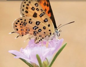 התוכנית הלאומית לניטור פרפרים בישראל