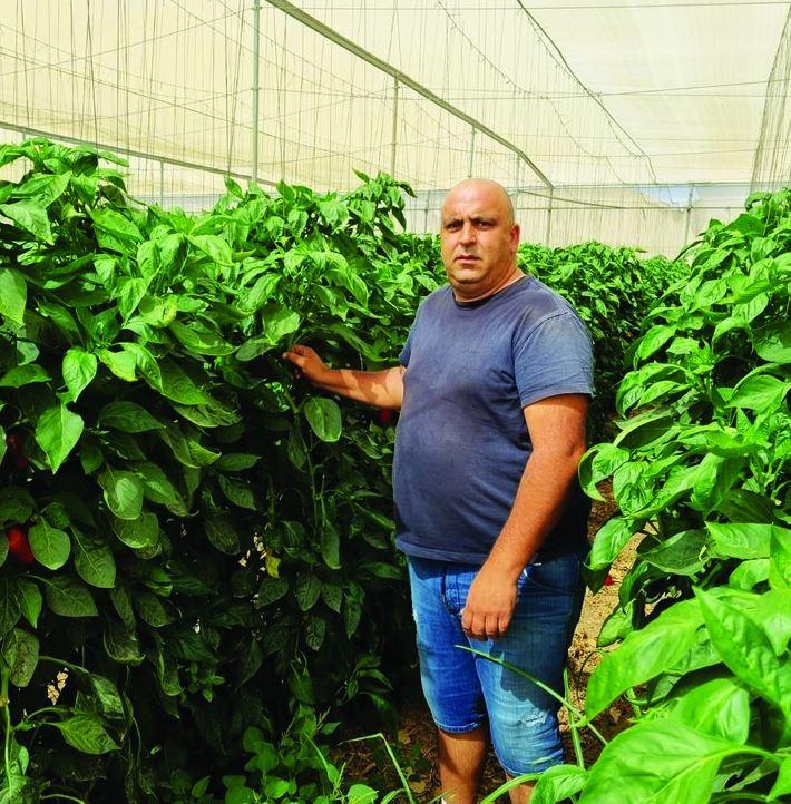 אלון אולי אב לארבע מגדל עגבניות